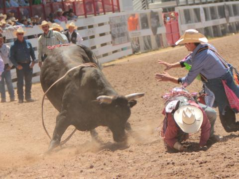 夏安边疆节上的骑牛表演